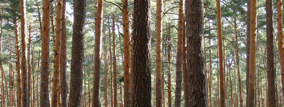Bosque pino Soria